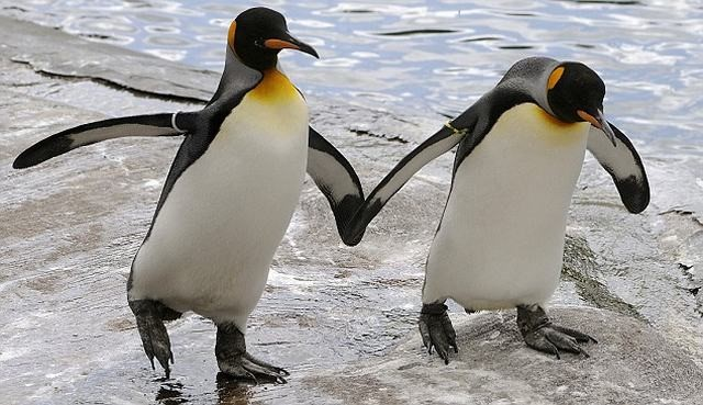 pinguins gays